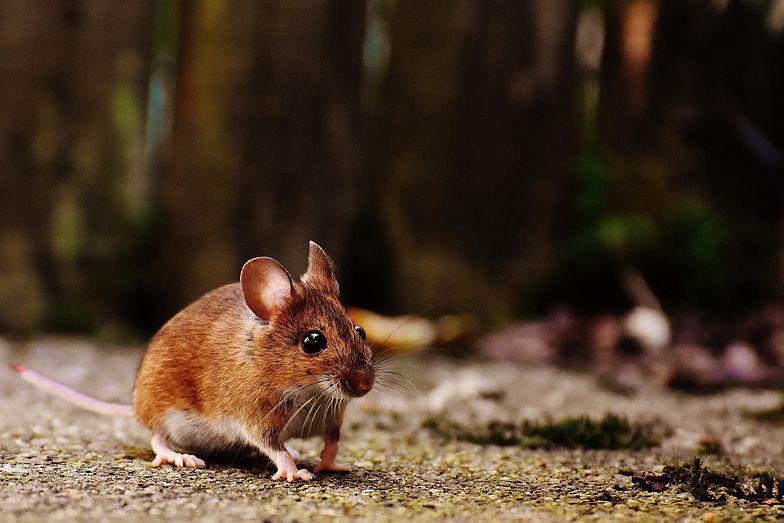 Niepokojące wieści z Niemiec. Zwierzęcy wirus przeszedł z myszy na człowieka