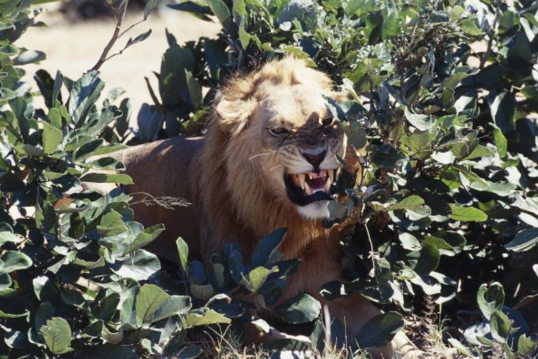 Horror na safari. Lew zaatakował śpiących turystów