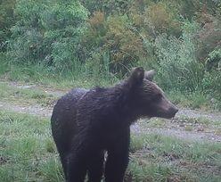 Niedźwiedź brunatny po raz pierwszy od 150 lat widziany w północnej Hiszpanii