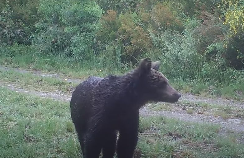 Niedźwiedź brunatny po raz pierwszy od 150 lat zaobserwowany w Hiszpanii