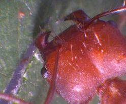 Zdumiewające odkrycie. Naukowcy powiększyli mrówkę pod mikroskopem