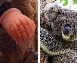Koala przeżyła koszmar. Znalazł się ktoś, kto pomógł