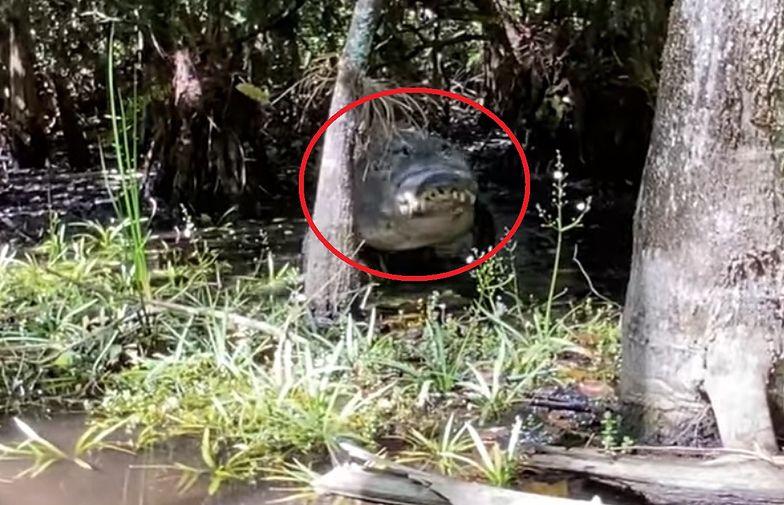 Niezwykłe nagranie. Kobieta przeżyła bliskie spotkanie z aligatorem