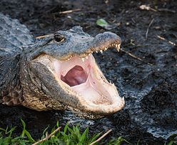 Floryda. Szczątki człowieka znalezione obok gigantycznego aligatora