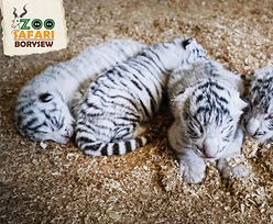 Czworaczki białego tygrysa przyszły na świat w zoo w Borysewie