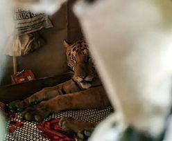 Indie. Tygrysica weszła do domu. Przez cały dzień spała na kanapie