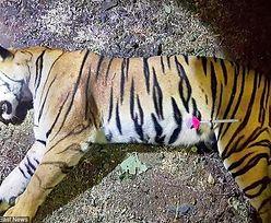 Zabiła 13 osób. W Indiach zastrzelono agresywną tygrysicę