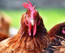 Intruz w kurniku. Kurczaki nie miały litości