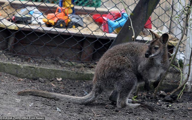 Świętokrzyskie: tragiczny finał poszukiwań kangura. Zwierzę potrącił samochód
