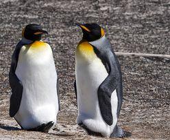 Zoo w Berlinie. Homoseksualne pingwiny przygarnęły jajo