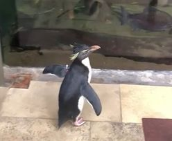 Pingwini spacer w zoo w Chicago. Nagranie obiegło sieć