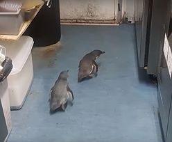 Pingwiny wkradły się do sushi baru w Wellington. Interweniowała policja