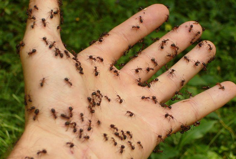 Mrówki są wszędzie? Proste triki na to, by się ich pozbyć