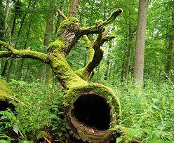 Puszcza Białowieska. Szykują się wycinki drzew. Ekolodzy reagują!