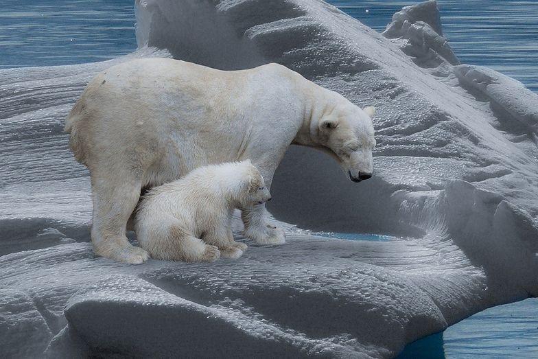 Dramatyczne prognozy naukowców. Kiedy wyginął niedźwiedzie polarne? Jest data