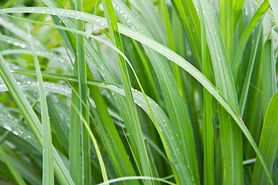 Trawa cytrynowa – właściwości, zastosowanie, uprawa
