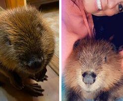 Uratowała życie bobrowi. Zwierzak do tej pory wprawia ją w zdumienie