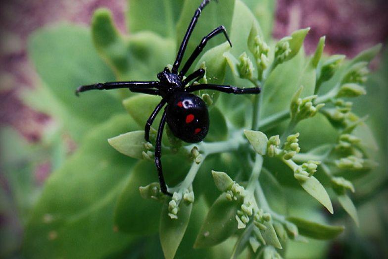 Dzieci celowo sprowokowały groźnego pająka do ich ukąszenia