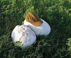 """""""Białe olbrzymy"""" łące pod Augustowem. Większe niż ludzka głowa. Aż trudno uwierzyć"""