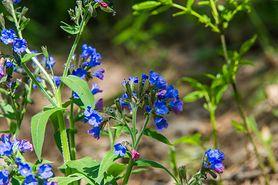 Miodunka - właściwości, zastosowanie i uprawa rośliny