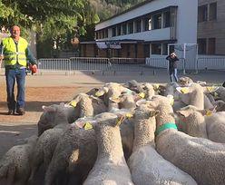 Francuzi zapisali owce do szkoły