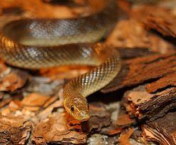 Największy wąż żyjący dziko w Polsce. Leśnicy pokazali zdjęcie