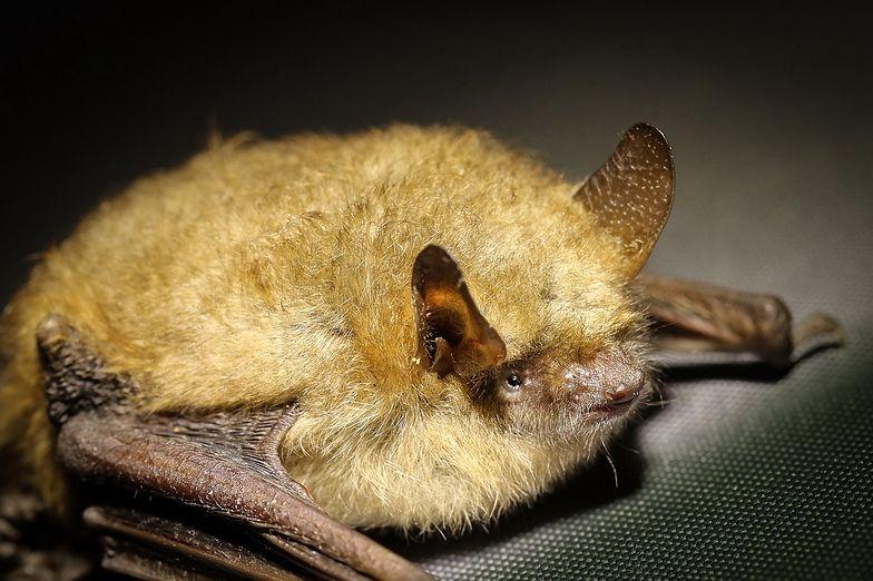 Niesamowite odkrycie. Nowy gatunek nietoperza w Polsce