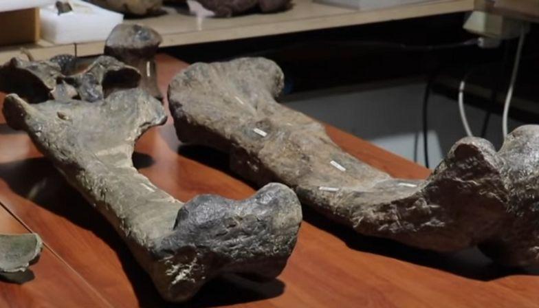 Tytanozaur. Nowy gatunek sprzed milionów lat był prawdziwym gigantem