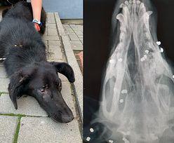 Pies postrzelony aż 50 razy. Większość pocisków ma w głowie