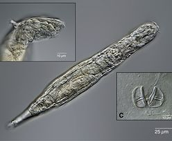Rosjanie ożywili zamrożony organizm sprzed 24 tys. lat. Zaczął się rozmnażać
