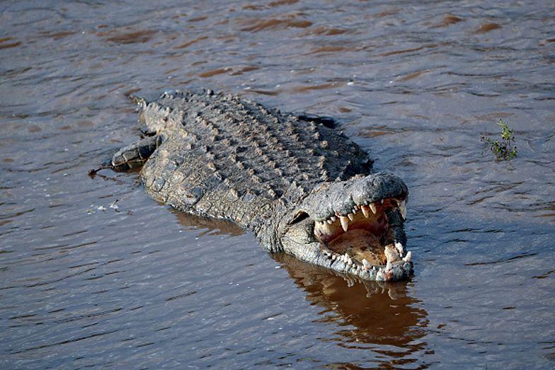 W hiszpańskiej rzece pływa agresywny krokodyl nilowy. Trwają poszukiwania