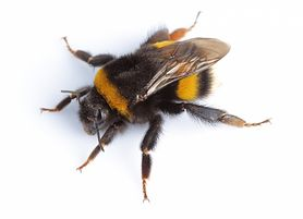 Trzmiel - gatunki, gniazdo, użądlenie, pożyteczność, zagrożenie gatunku