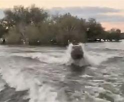 Dramatyczny pościg na jeziorze. Wściekły hipopotam gonił turystów