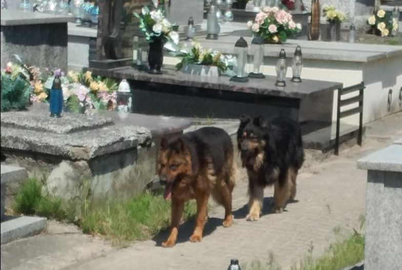 Koszmar pod Kutnem. Wściekłe psy siały spustoszenie na cmentarzu, są ofiary
