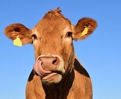 """Rozcięli brzuch ciężarnej krowy. """"Czegoś takiego nie widziałem"""""""
