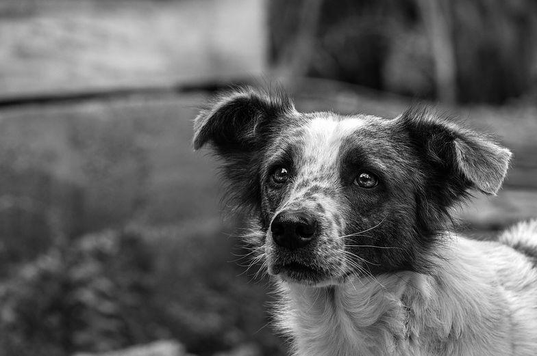 Skatował psa sąsiada szczotką. Szokujące tłumaczenie seniora z Podlasia