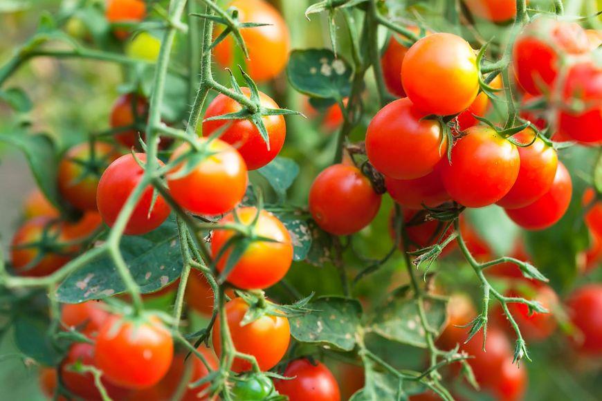 W jednym dużym pomidorze znajdziemy nawet 430 mg potasu, czyli 10 proc. dziennego zapotrzebowania na ten składnik