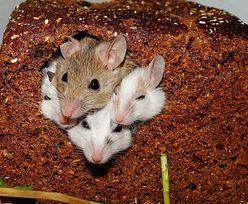 Myszy mogą być nosicielami koronawirusa. Ekspert wyjaśnił