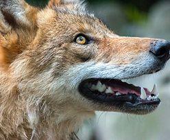 W Poznaniu grasują wilki. Mieszkańcy w strachu