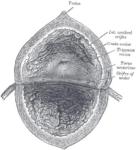 Schemat budowy pęcherza moczowego