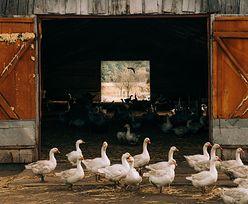 Rzeź we Francji. Z desperacji zabiją 600 tys. zwierząt