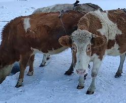"""Syberia. Rolnik ubiera krowy. """"Oszczędzam dwa litry mleka dziennie"""""""