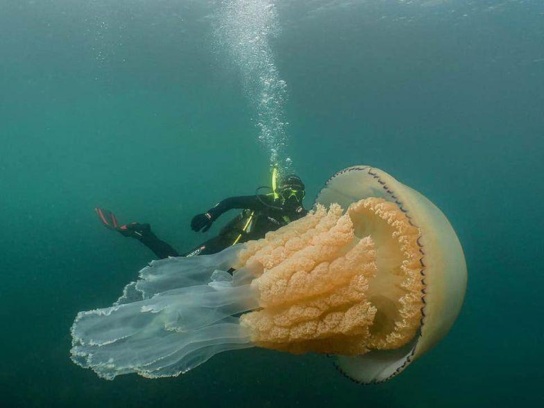 Meduza większa od człowieka. Gigant u wybrzeży Anglii