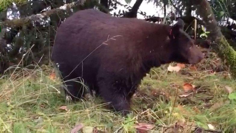 Ledwo przeżył spotkanie z niedźwiedziami