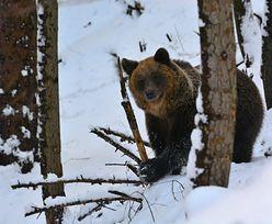 Niedźwiedzie nie chcą spać. Wszystko przez ciepłą zimę
