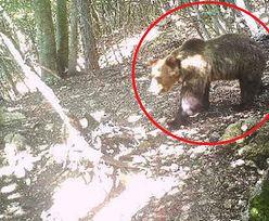 Niedźwiedź M49 to geniusz ucieczki. Pościg za groźnym zbiegiem