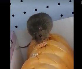 Prudnik. Szczur w dyskoncie przestraszył klientów. Jadł szynkę