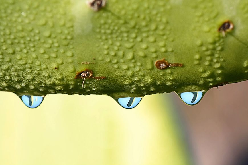 Woda kaktusowa
