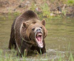 Pojechała na biwak. Zginęła rozszarpana przez niedźwiedzia grizli
