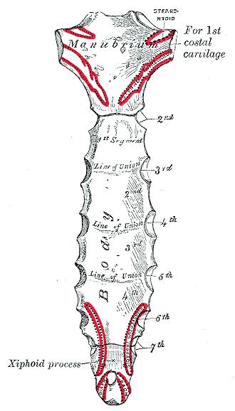 Schemat budowy mostka człowieka